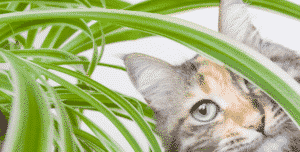 Cleanse the air in your home with pet friendly non toxic for Spider plant cats